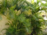 areca-bambu (06)
