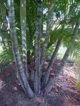 areca-bambu (07)