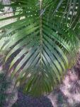areca-bambu (08)