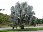 palmeira-azul (02)