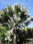 palmeira-azul (06)