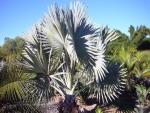 palmeira-azul (08)