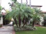 palmeira-fênix (01)