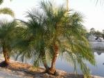 palmeira-fênix (02)