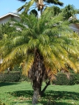 palmeira-fênix (03)