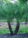 palmeira-fênix (04)