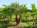 palmeira-fênix (05)