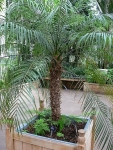 palmeira-fênix (06)