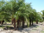 palmeira-fênix (08)
