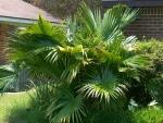 palmeira-leque (01)