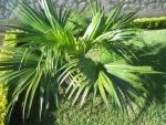 palmeira-leque (02)