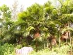 palmeira-leque (04)