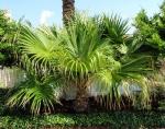 palmeira-leque (05)