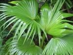 palmeira-leque (06)