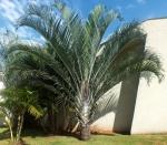 palmeira-triângulo (02)