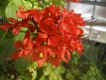 clerodendro-vermelho (2)