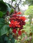 clerodendro-vermelho (3)