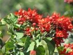 clerodendro-vermelho (4)