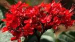 clerodendro-vermelho (6)