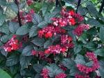 clerodendro-vermelho (8)