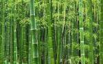 bambu (01)