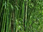 bambu (03)