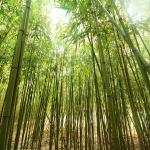 bambu (06)