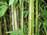 bambu (07)
