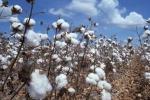 algodão (5)