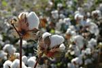 algodão (6)