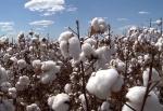 algodão (8)