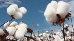 algodão (10)