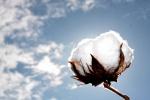 algodão (12)