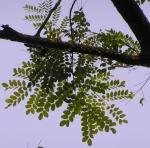 olho-de-pavão (3)