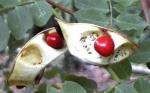 olho-de-pavão (8)